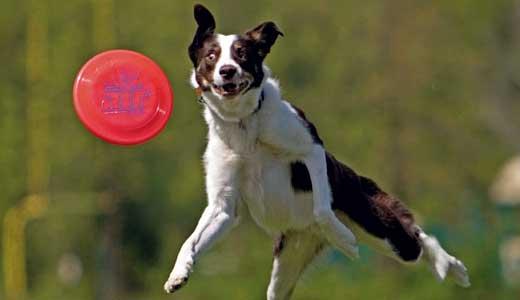 staff-pick-derby-dog