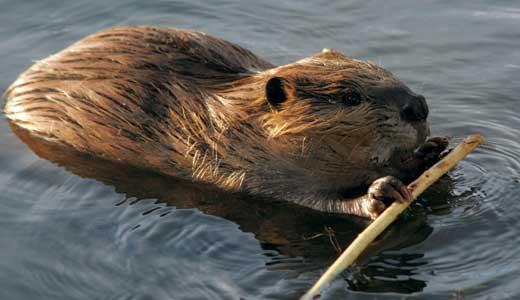 feature-green-beaver
