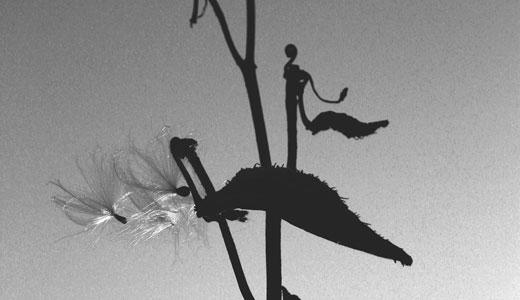 """Milkweed"" by Dale McMakin"